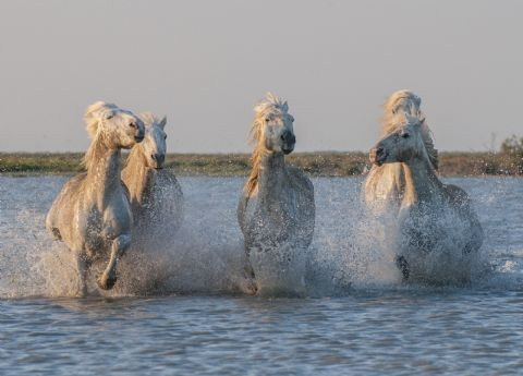 Carmargue Horses in Sea Greetings Card